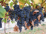grapes1-150x112