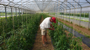 tomates invernadero