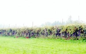 vineyard-300x190